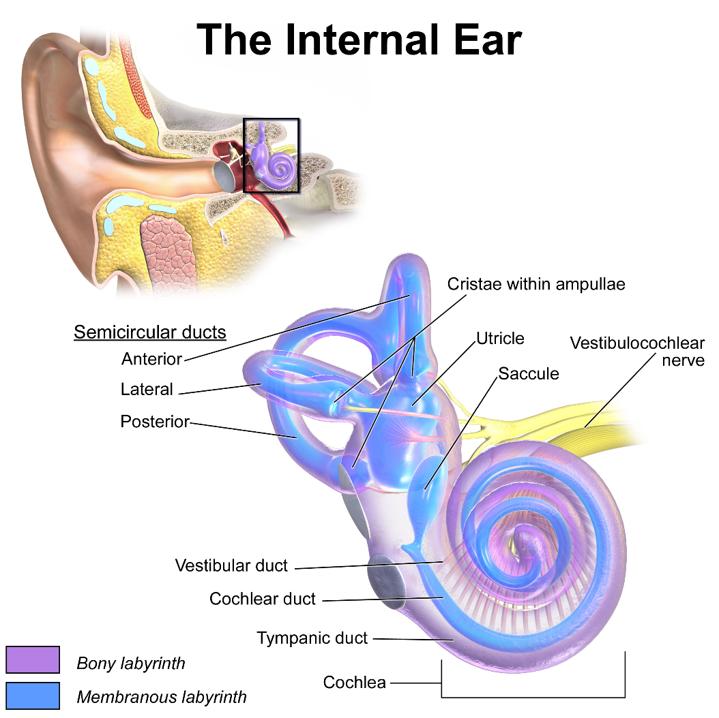 Ucho ślimak2