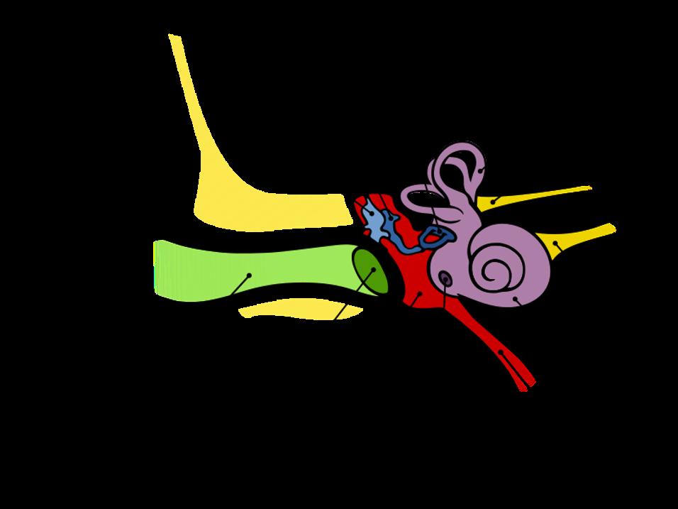 ucho budowa